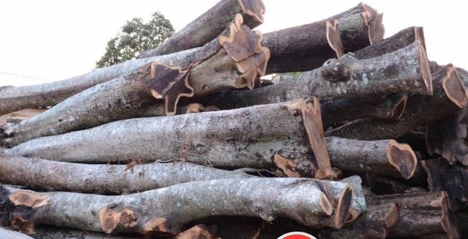 gỗ muồng đen
