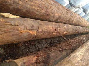 Gỗ Sến là gỗ gì? Chất lượng của gỗ Sến có tốt không?